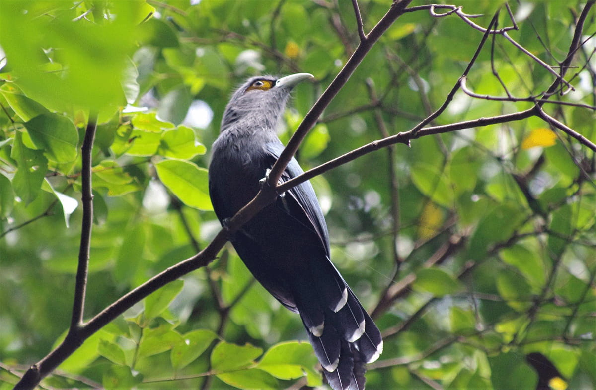 The Chestnut-bellied Malkoha is a bird species that is known for its long tail, grey head, and light-colored bill.