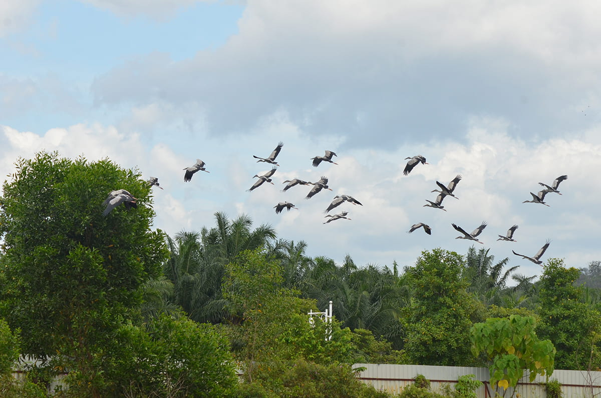 Asian openbill storks have flocked to Kundang Estates due to the township's healthy ecosystem and abundance of greenery for them to roost.